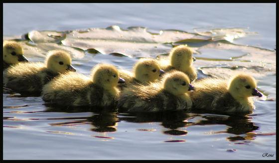 7 goslings.jpg