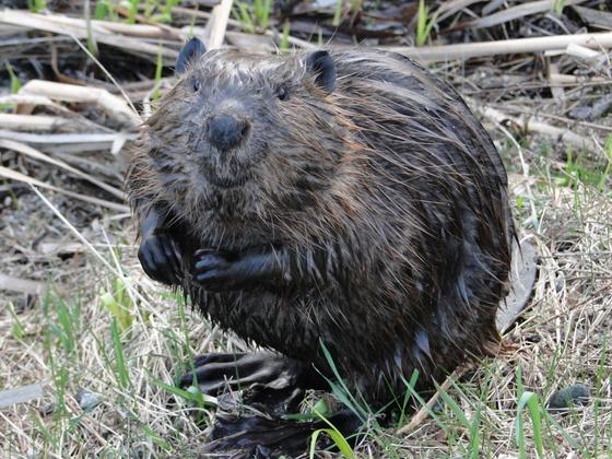 Smiling Beaver