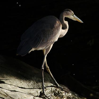 Heron chiaroscuro