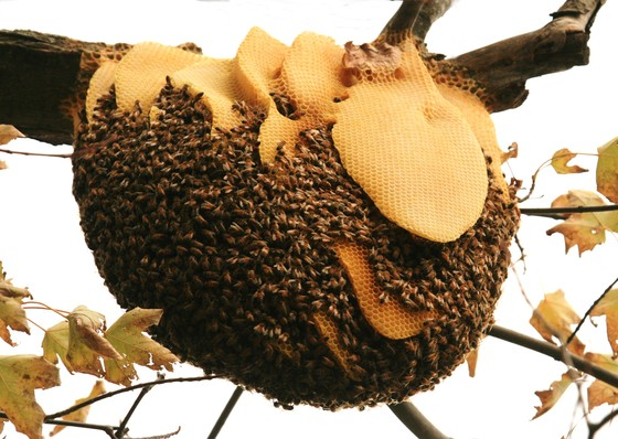 Canadian Geographic Photo Club - Beehive Honey Bees - photo#14