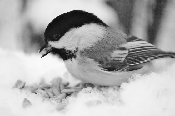 How Chickadee's Keep Warm