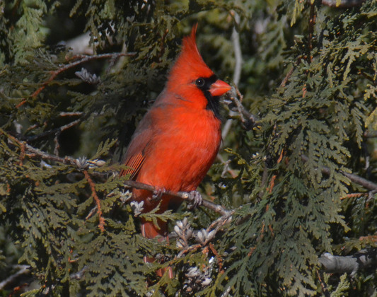 Northern Cardinal waiting for his turn