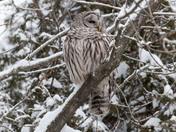 Barred Owl - Winter Visit