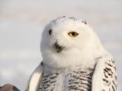 Snowy Owl-male