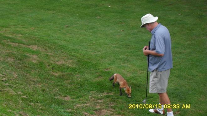 nick feeds our pet fox St. Davids, Ontario Canada